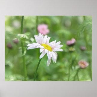 Pyrethrum Daisies -  Tanacetum coccineum Poster