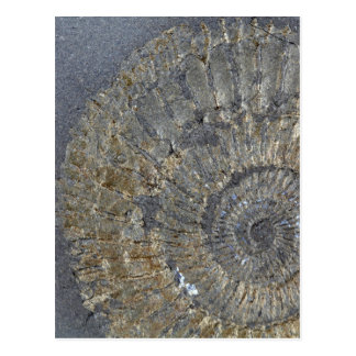 Pyritized Ammonite Postcard