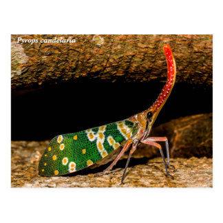 Pyrops candelaria planthopper postcard