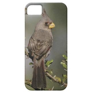Pyrrhuloxia, Cardinalis sinuatus, female, Starr iPhone SE/5/5s Case