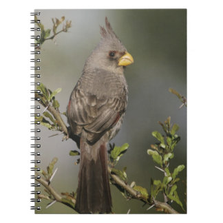 Pyrrhuloxia, Cardinalis sinuatus, female, Starr Notebook