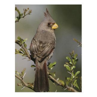 Pyrrhuloxia, Cardinalis sinuatus, female, Starr Postcard