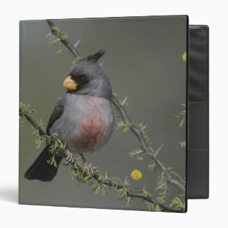 Pyrrhuloxia, Cardinalis sinuatus, male on Binder