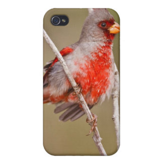 Pyrrhuloxia (Cardinalis sinuatus) male perched Cover For iPhone 4
