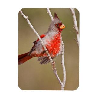 Pyrrhuloxia (Cardinalis sinuatus) male perched Magnet