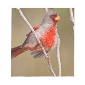 Pyrrhuloxia (Cardinalis sinuatus) male perched Notepad