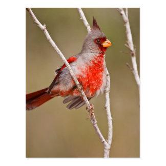 Pyrrhuloxia (Cardinalis sinuatus) male perched Post Card