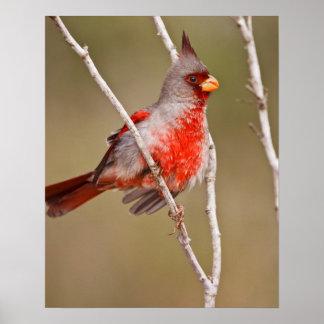 Pyrrhuloxia (Cardinalis sinuatus) male perched Poster