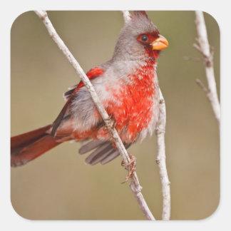 Pyrrhuloxia (Cardinalis sinuatus) male perched Square Sticker