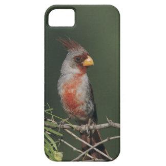 Pyrrhuloxia, Cardinalis sinuatus, male, Starr iPhone SE/5/5s Case