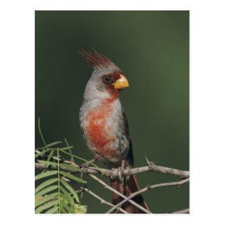 Pyrrhuloxia, Cardinalis sinuatus, male, Starr Postcard