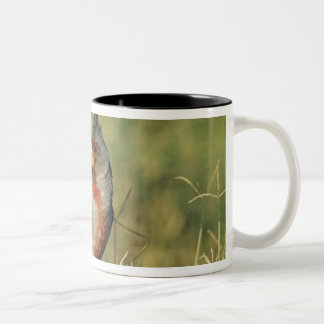 Pyrrhuloxia, Cardinalis sinuatus, male, Starr Two-Tone Coffee Mug