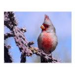 Pyrrhuloxia Desert Cardinal Postcards