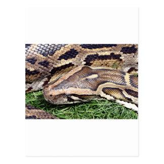 Python in zoo, Arizona, USA Postcard