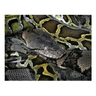 Python molurus bivittatus postcard