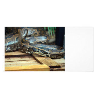 python snake looking left on wooden crate photo card