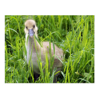 Quack - ocas polluelo tarjetas postales