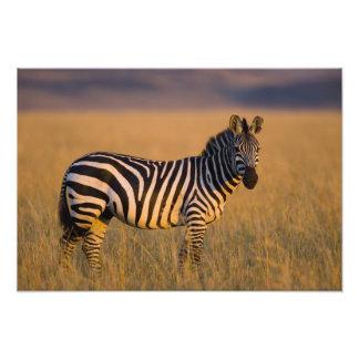 Quagga del Equus de la cebra de los llanos) en la  Impresión Fotográfica