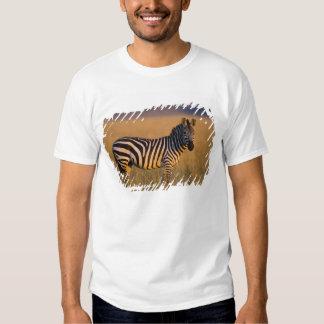 Quagga del Equus de la cebra de los llanos) en la Polera