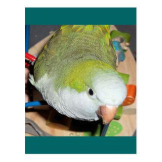 Quaker Parrot Postcard