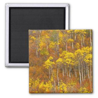 Quaking aspen grove in peak autumn color in 2 fridge magnets