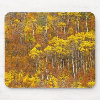 Quaking aspen grove in peak autumn color in 2 mouse pad