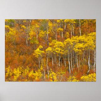 Quaking aspen grove in peak autumn color in 2 poster