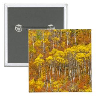 Quaking aspen grove in peak autumn color in button
