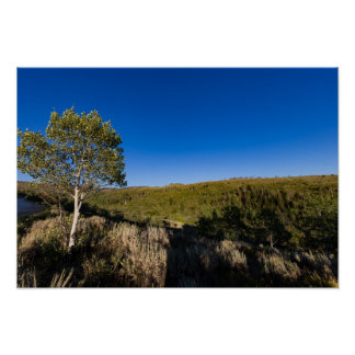 Quaking Aspen in the mountains Poster