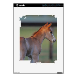 Quarter Horse Foal Decals For iPad 3