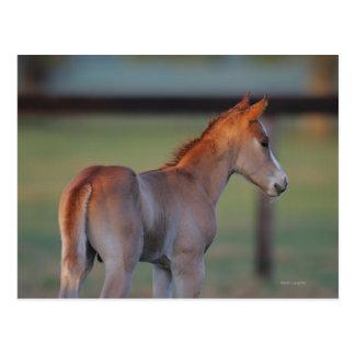 Quarter Horse Foal Post Cards