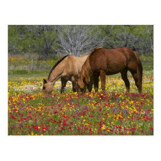 Quarter Horse in field of wildflowers near Cuero Postcard