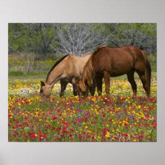 Quarter Horse in field of wildflowers near Cuero Poster