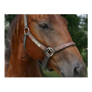 Quarter Horse Photo Postcard