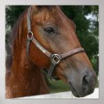 Quarter Horse Poster Print