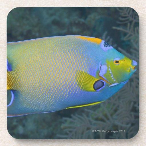Queen Angelfish Coaster