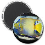 Queen Angelfish Fridge Magnet