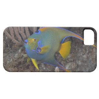 Queen Angelfish Holacanthus ciliaris swimming iPhone 5 Cases