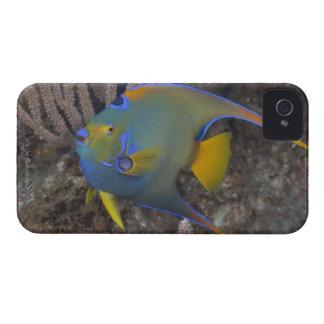 Queen Angelfish (Holacanthus ciliaris) swimming iPhone 4 Case-Mate Case