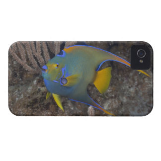 Queen Angelfish (Holacanthus ciliaris) swimming iPhone 4 Cover