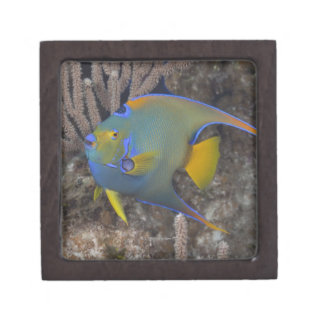 Queen Angelfish (Holacanthus ciliaris) swimming Keepsake Box