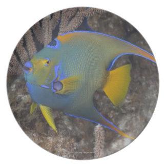 Queen Angelfish (Holacanthus ciliaris) swimming Melamine Plate