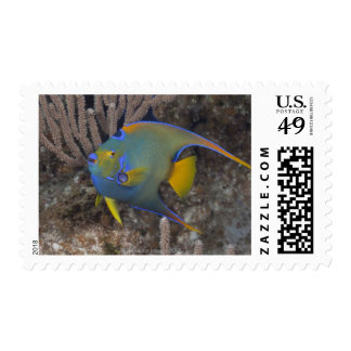 Queen Angelfish (Holacanthus ciliaris) swimming Postage