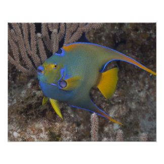 Queen Angelfish (Holacanthus ciliaris) swimming Poster