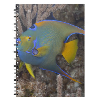 Queen Angelfish (Holacanthus ciliaris) swimming Spiral Notebook