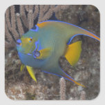 Queen Angelfish (Holacanthus ciliaris) swimming Square Sticker