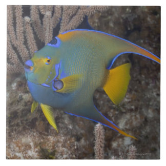 Queen Angelfish (Holacanthus ciliaris) swimming Tile