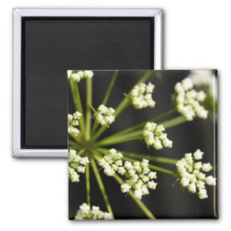 Queen Anne s Lace Refrigerator Magnets