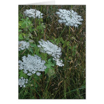 Queen Anne's Lace White Wild Flower