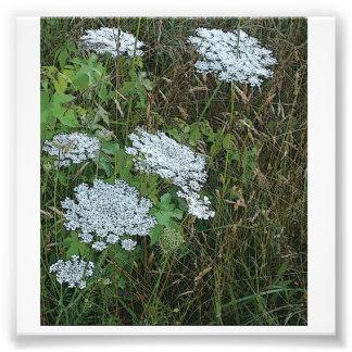 Queen Anne's Lace White Wild Flower Photo Print